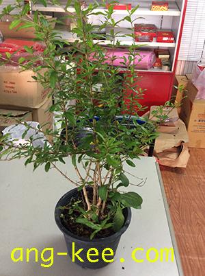 ต้นทับทิมในงานแต่ง งานหมั้นจีน
